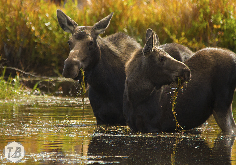 Rocky Mountain Moose Keeps Watch Over Her Calf