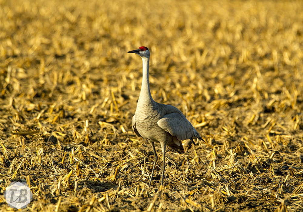 Colorful Sandhill Cranes