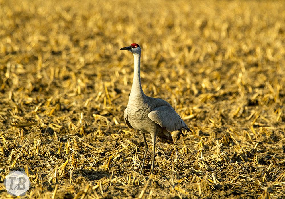 Colorful Sandhill Cranes