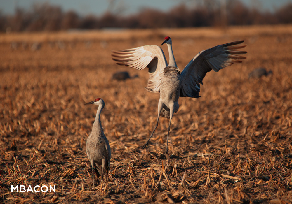 Dance of the Sandhill Cranes
