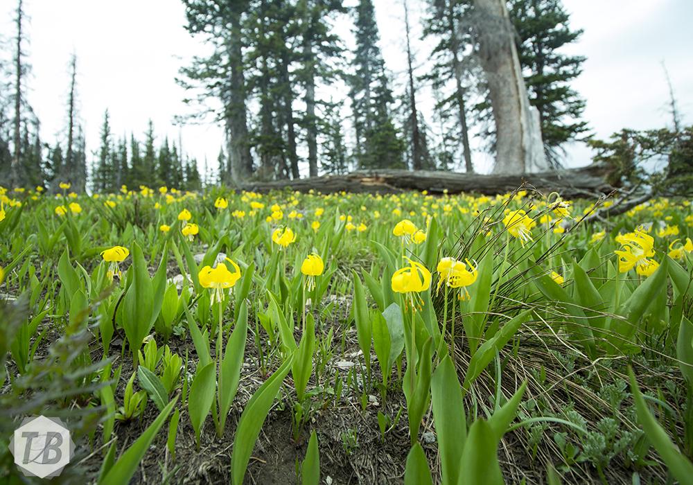 Yellow Wildflower Dream