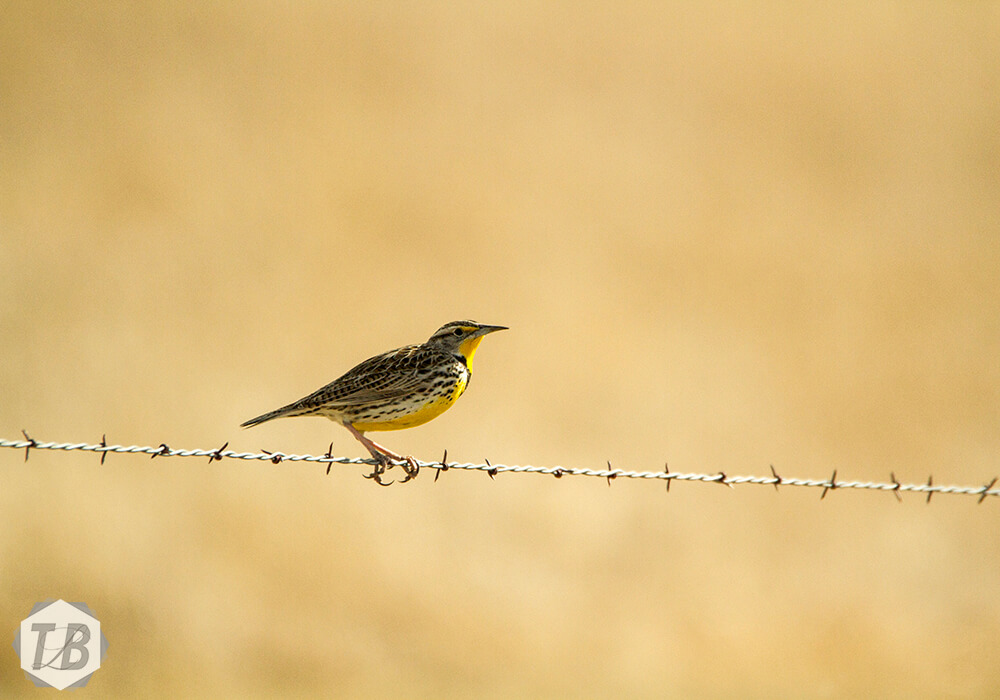 Grandfather Meadowlark