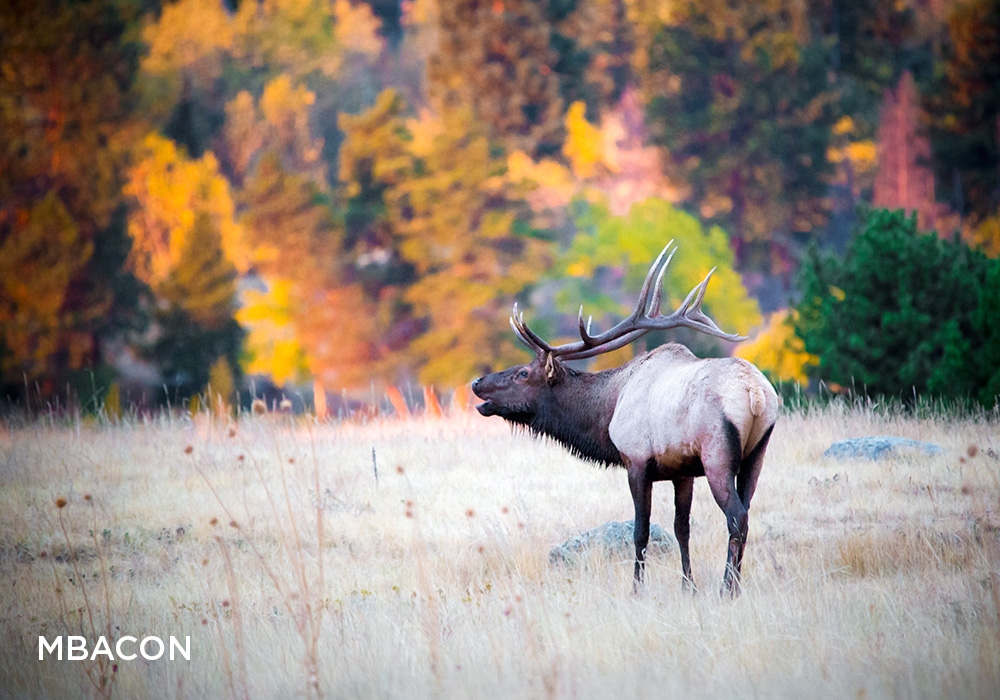 A Rocky Mountain elk bugles at sunrise.