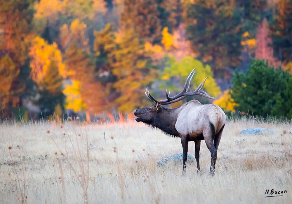 Rocky Mountain Elk in Fall by Marc Bacon