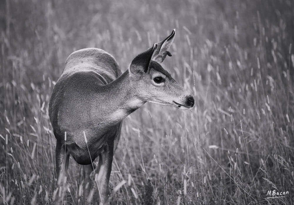 Elegant Doe by Marc Bacon