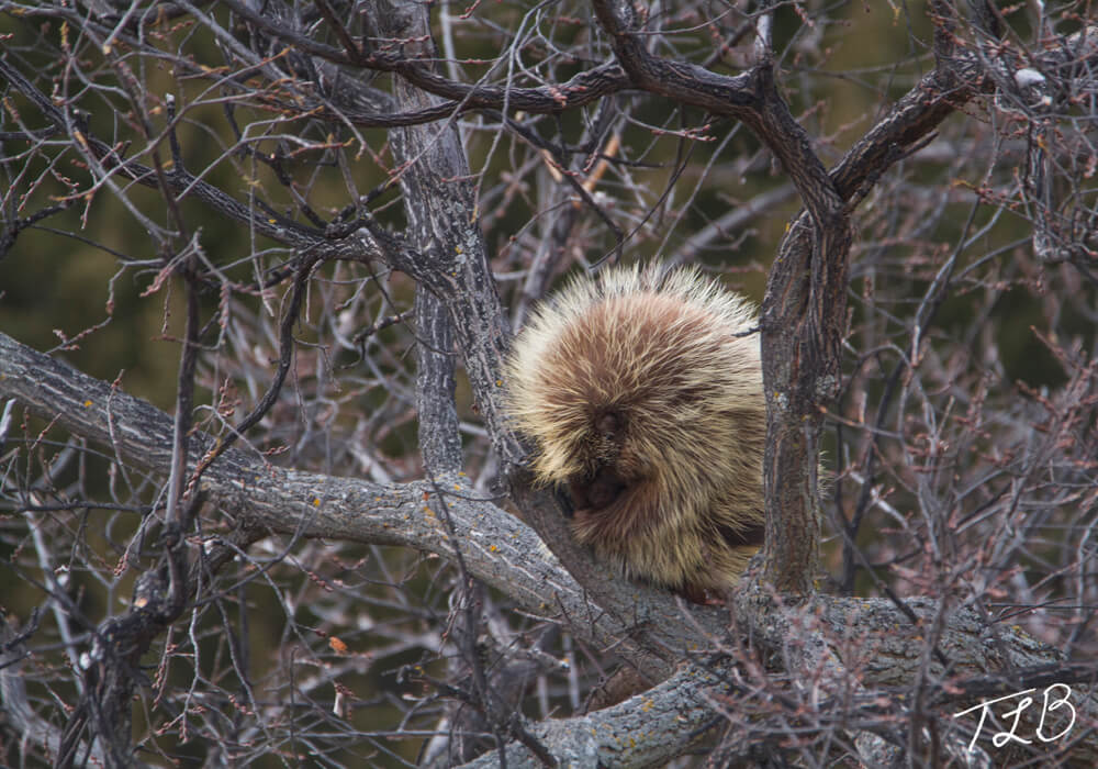A porcupine asleep in a tree in Nebraska.